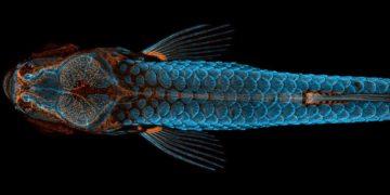 Vista dorsal de um peixe-zebra    Daniel Castranova   Divulgação Nikon Small World